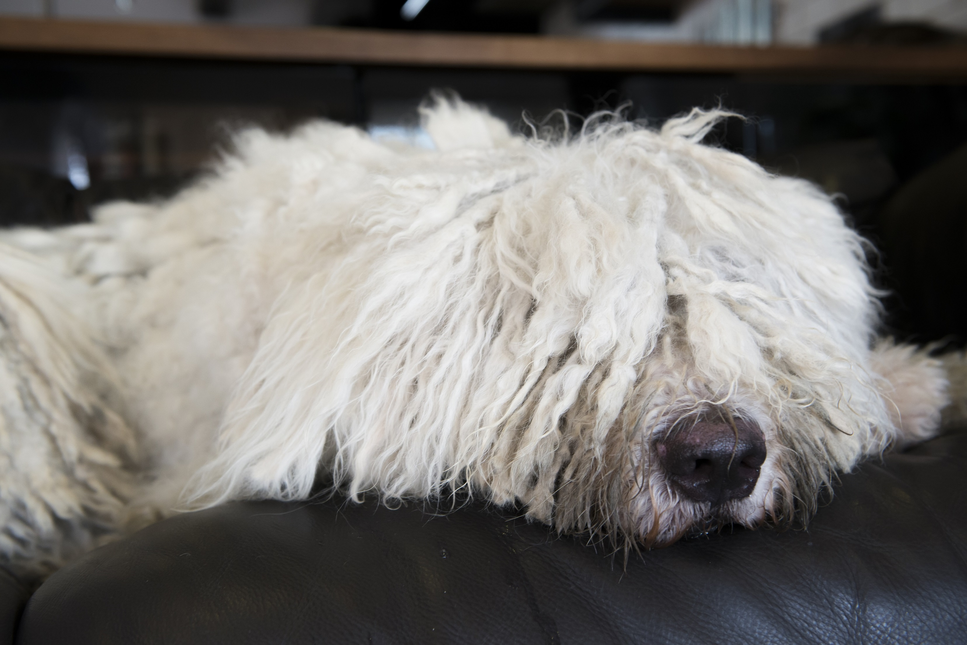 Ipoly performing his favourite pastime – sleeping on the sofa!
