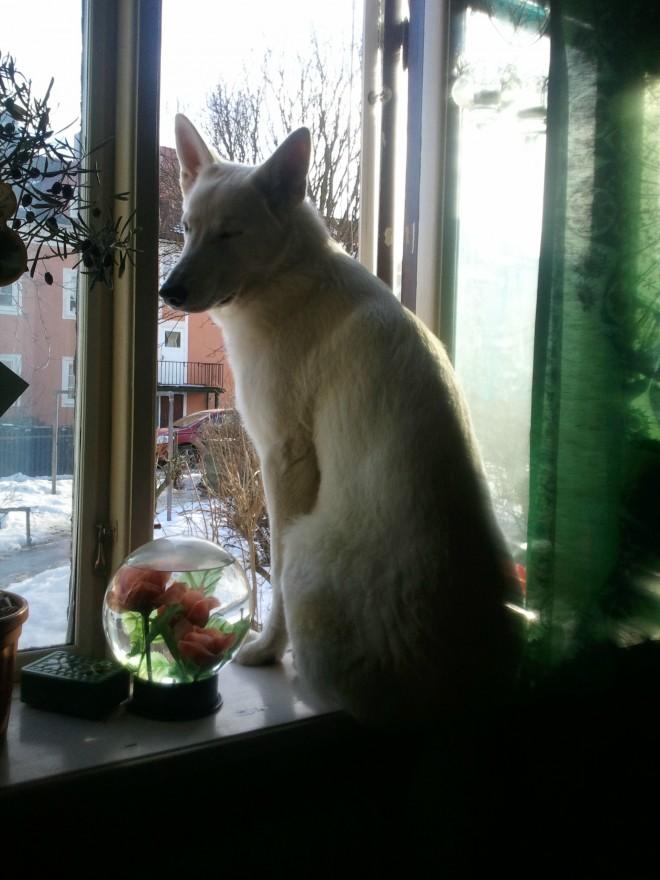windowsill dog