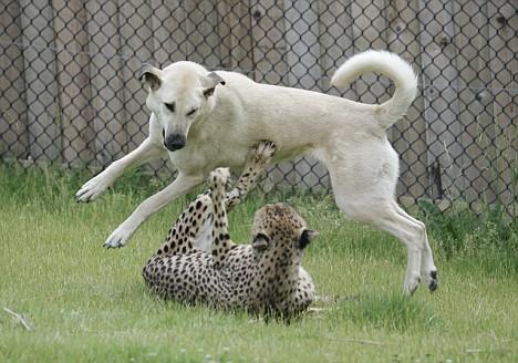 Alexa an Anatolian Shepherd Dog, and Sahara a Cheetah DailyMail