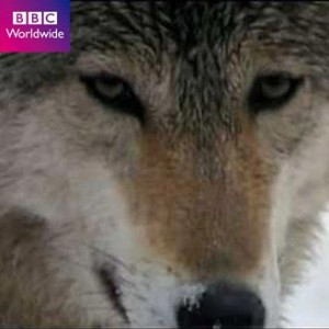 BBC Horizon Dogs and Wolves