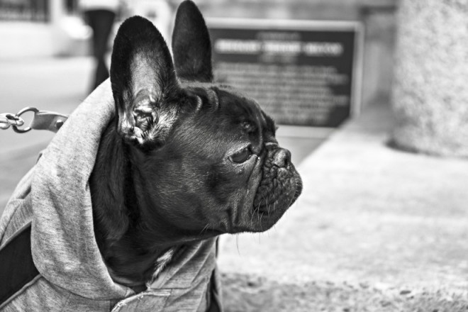 French Bulldog / Pexel
