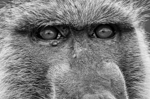 Baboon / Pixabay