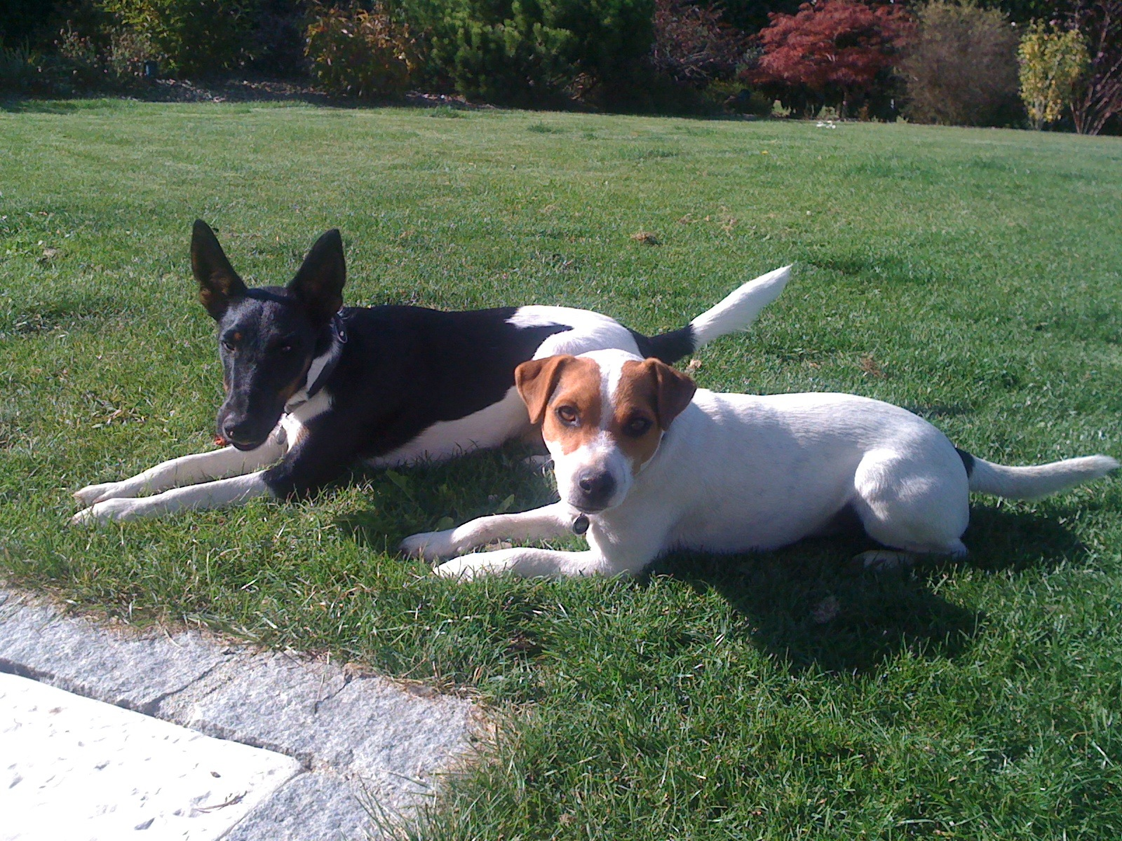 Ringo (Fox) and Fiddle (Parson Russell) sunbathing