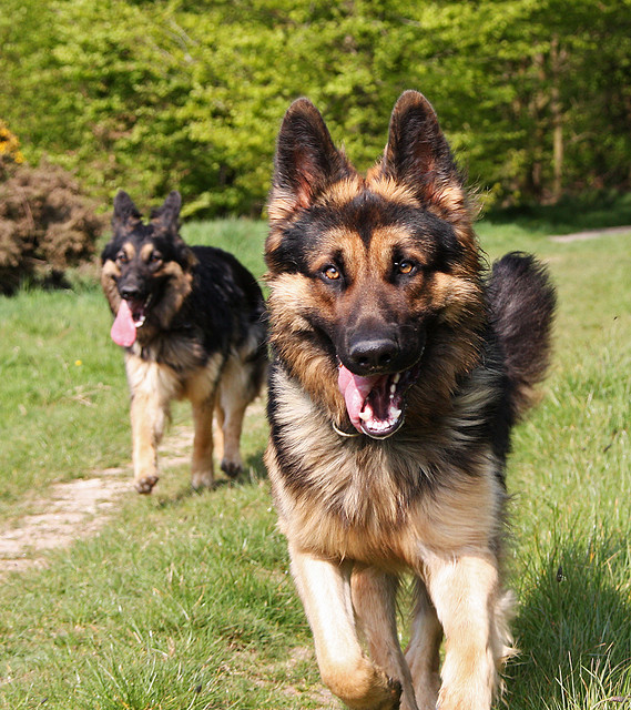 Kim and Mace - German Shepherds - by Marilyn Peddle on Flickr