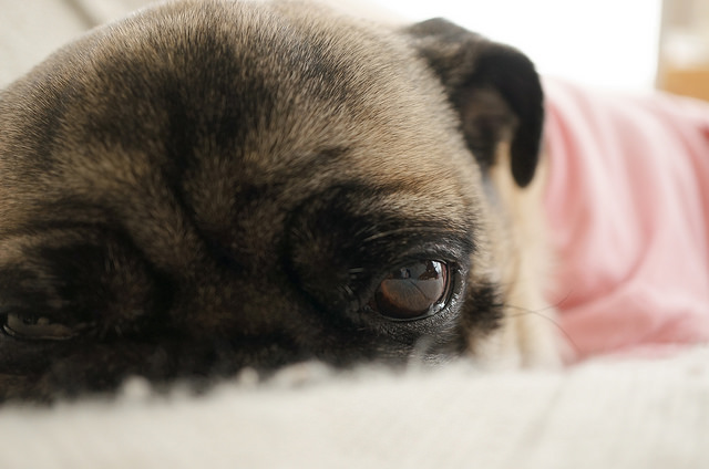11. Sleepy Dog by e_haya on Flickr