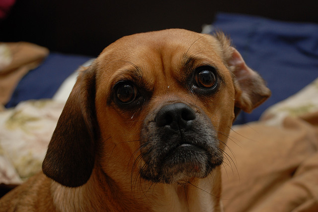 4. Sad Puggle by Joe Busby on Flickr