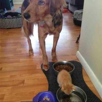 Patient dog and kitten