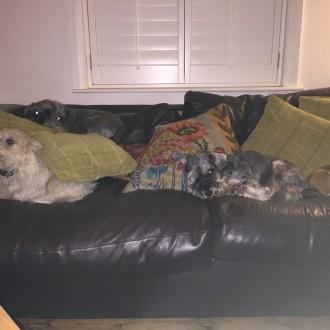 4 dogs 1 sofa 0 humans
