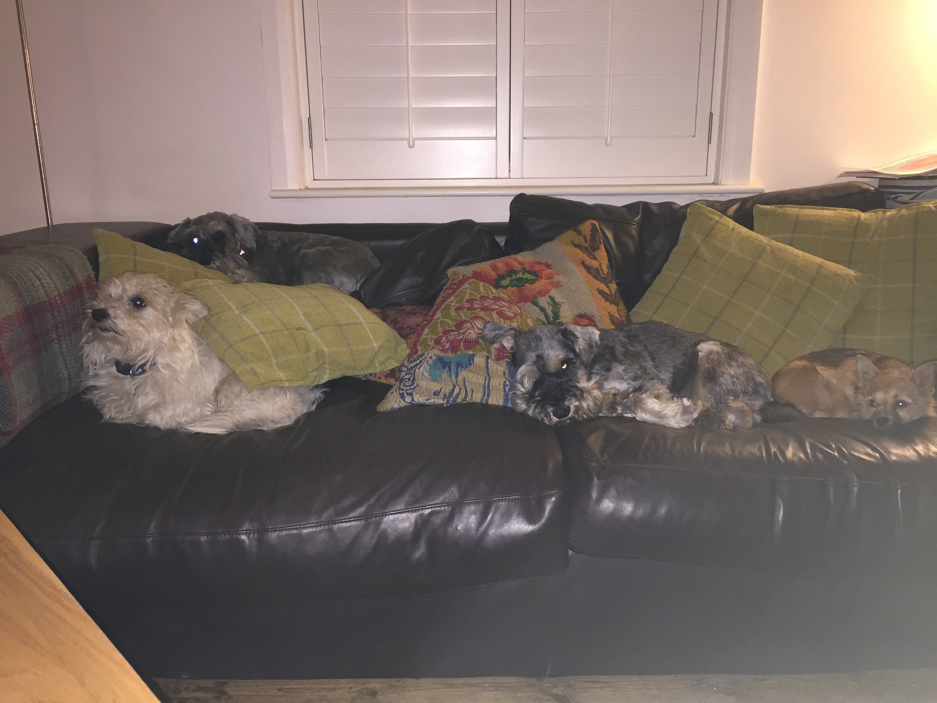4 dogs 1 sofa 0 humans